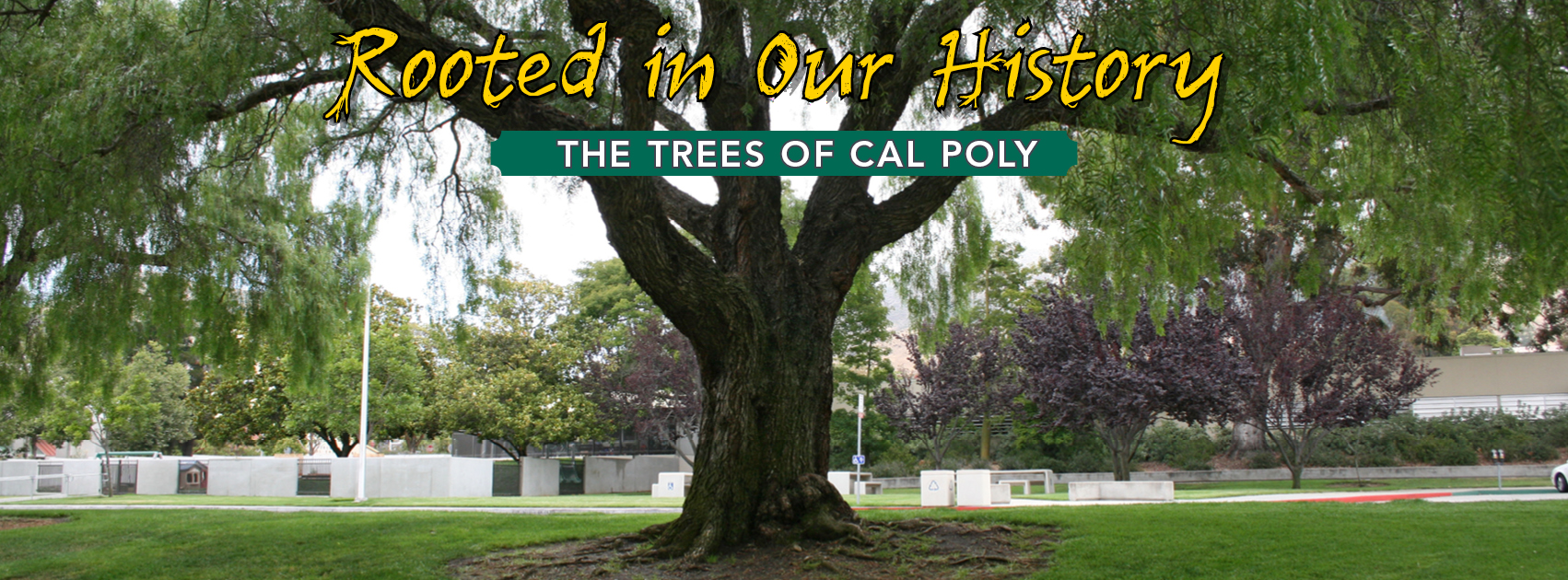 Rooted in Our History The Trees of Cal Poly Exhibit on the 4th floor